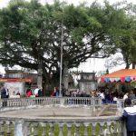 Một trong những cây Sanh cổ thụ đẹp nhất ở Thái Bình được công nhận Cây Di sản Việt Nam